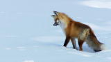 North America: Fox Dives Headfirst Into Snow