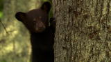 North America: Baby Black Bear Learns the Ropes