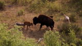 North America: Bison and Her Calf Battle Wolves
