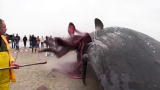 Outrageous Acts of Science: Exploding Whale