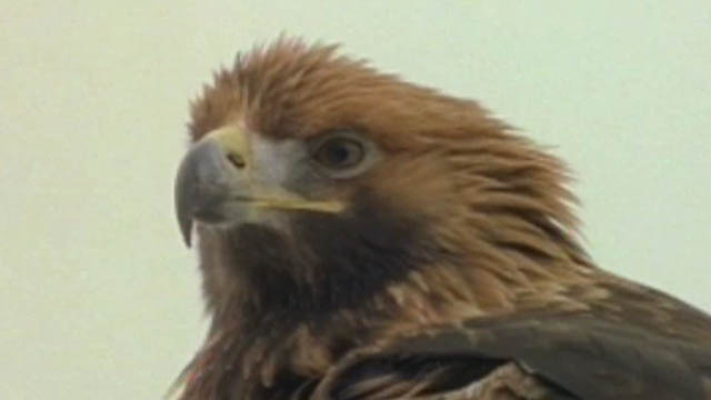 golden eagle wallpaper. Jaws and Claws 2: Golden Eagle