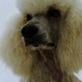 Poodle (Standard) Video
