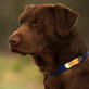 Labrador Retriever Video