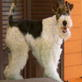 Wire Fox Terrier Video