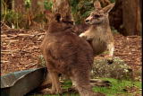 Ms. Adventure: Kangaroo Courtship : Video : Animal Planet