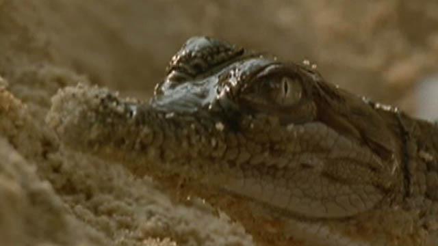 нашей гребнистый крокодил или большая белая акула данной консультации