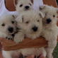 West Highland White Terrier Video