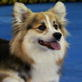 Pembroke Welsh Corgi Video