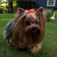 Yorkshire Terrier Video