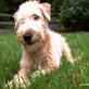 Soft Coated Wheaten Terrier Video
