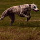 Whippet Video